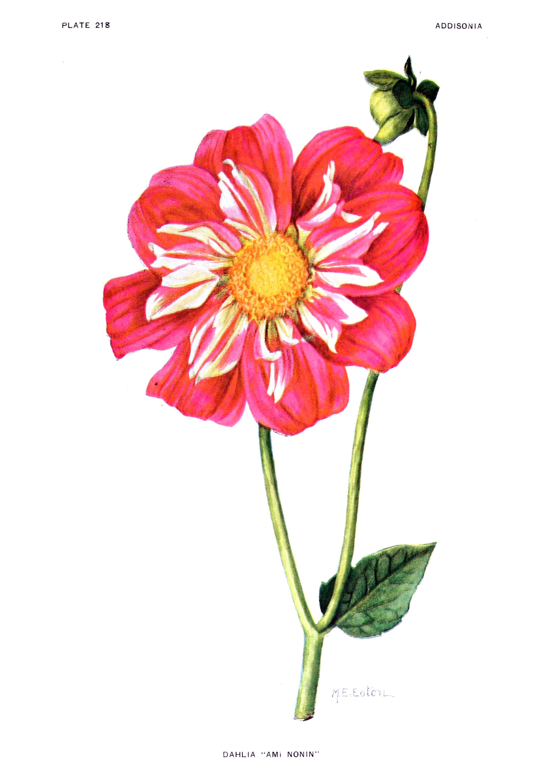 Dazzling Dahlias - 46 in a series -  Dahlia 'Ami Nonin' from Addisonia : colored illustrations and popular descriptions of plants (1916)