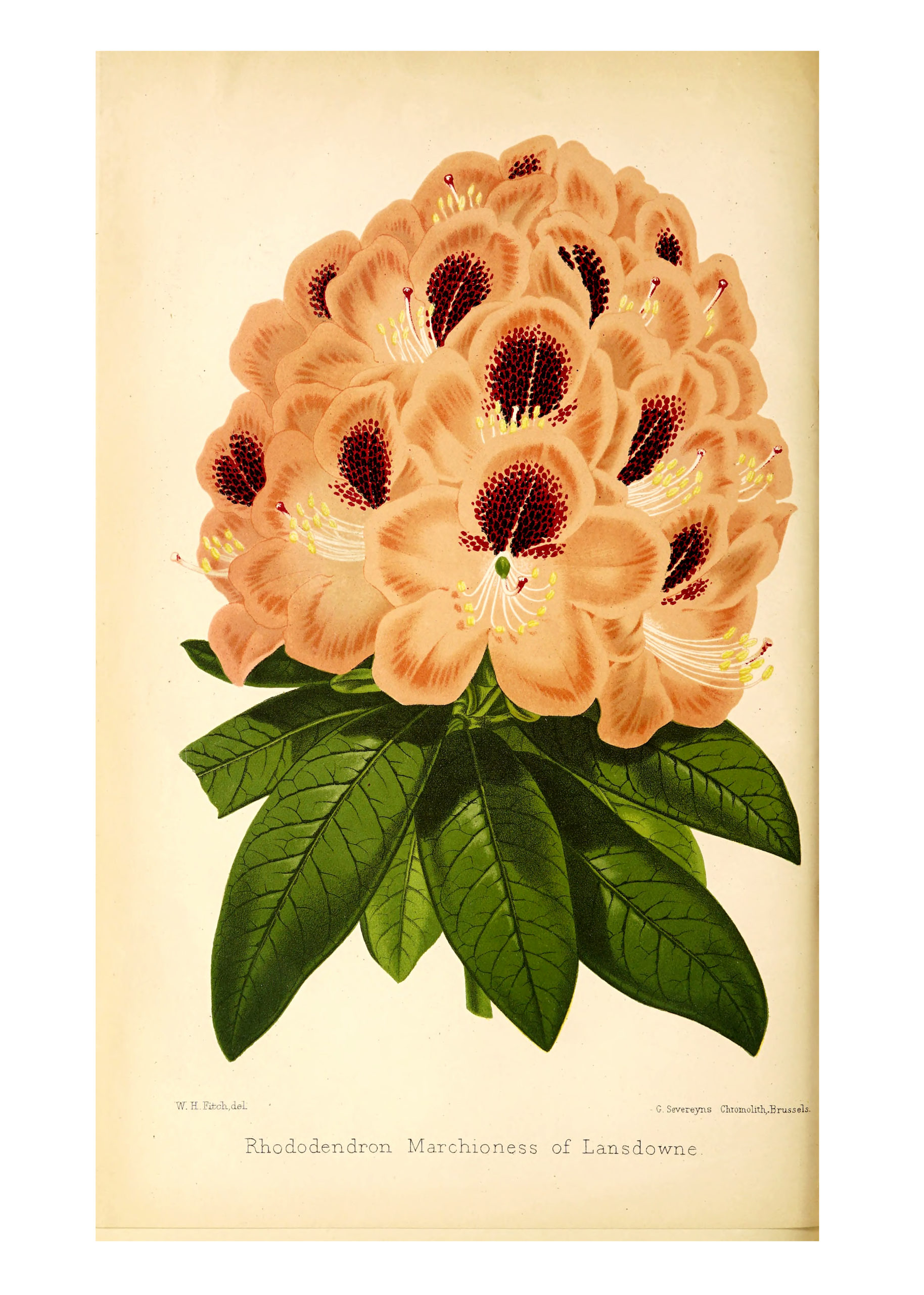 Vintage Botanical Prints - 23 in a series - Rhododendron Marchioness of Landsdowne from The florist and pomologist (1879)