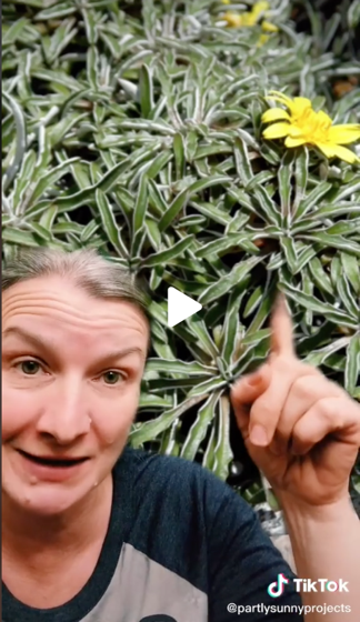 Captivating Cactus and Striking Succulents - 62 in a series - Dyminsia is a great lawn alternative via Partly Sunny Projects on TikTok [Video]
