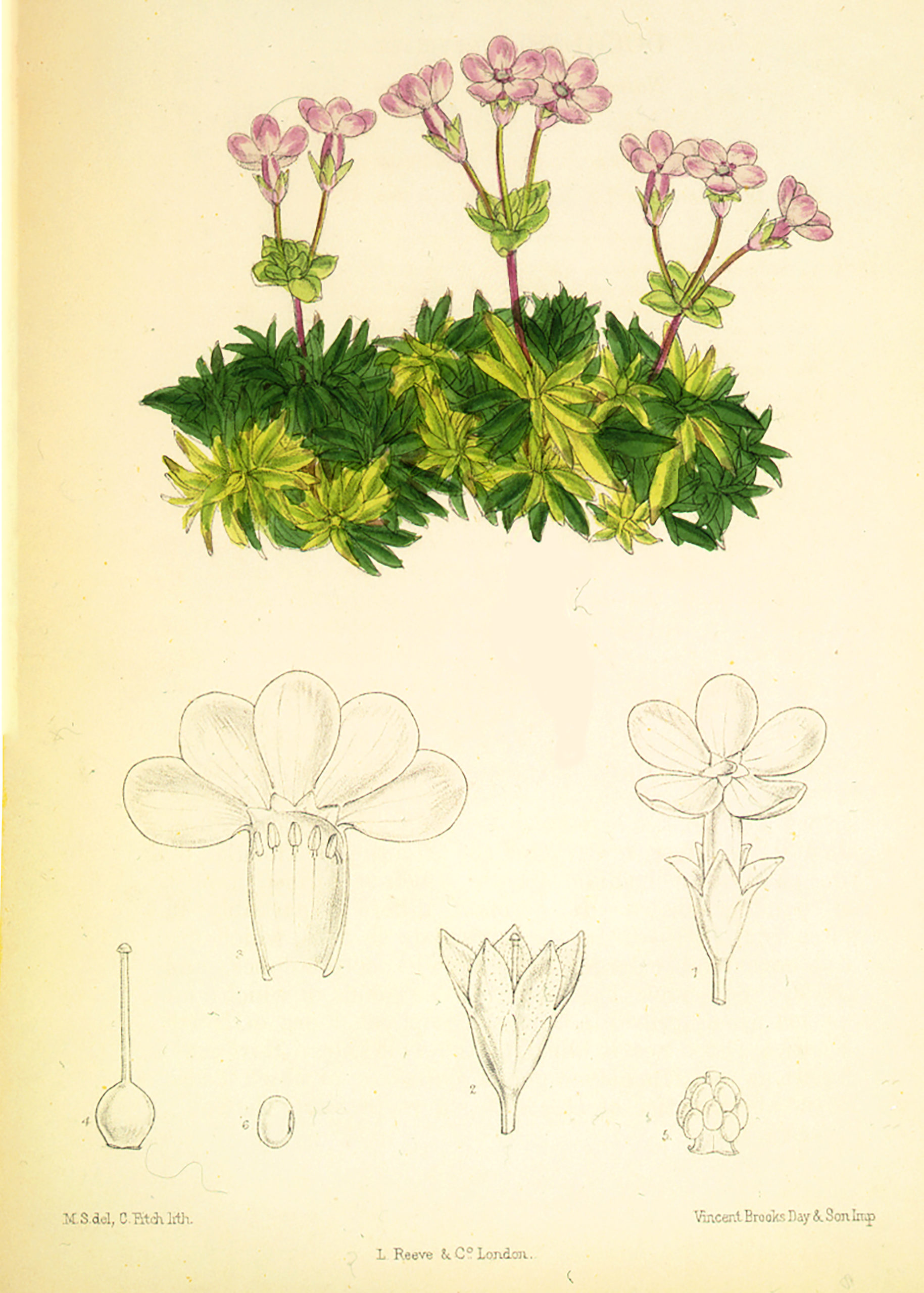 Vintage Botanical Prints - 26 in a series - Douglasia laevigata (1888)