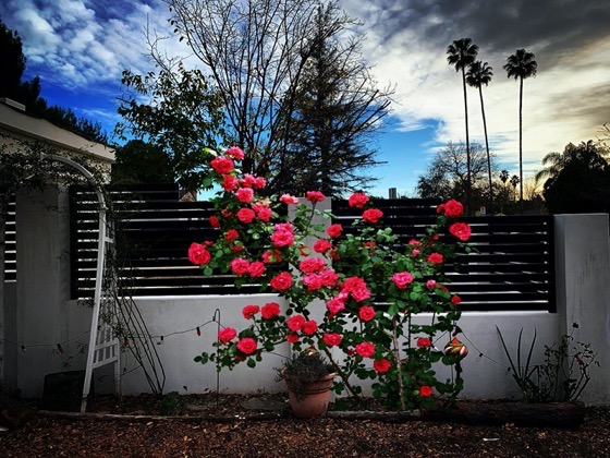 Mockup of possible new climbing rose via Instagram