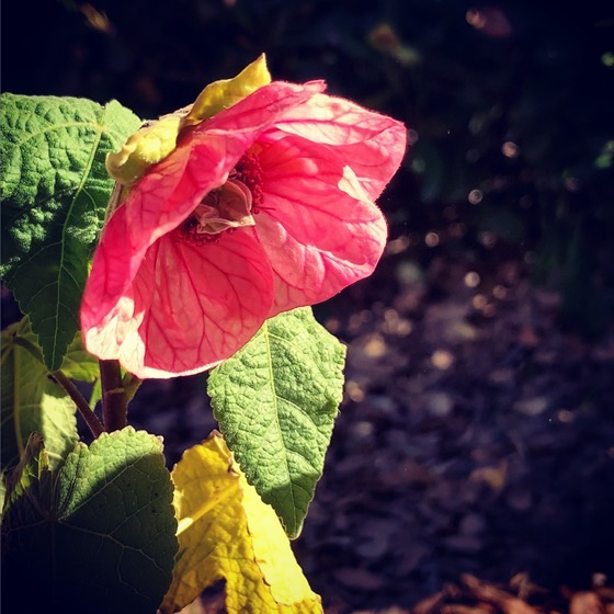 Abutilon Flower via Instagram