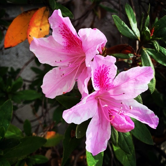Flowering Now: Azalea via Instagram