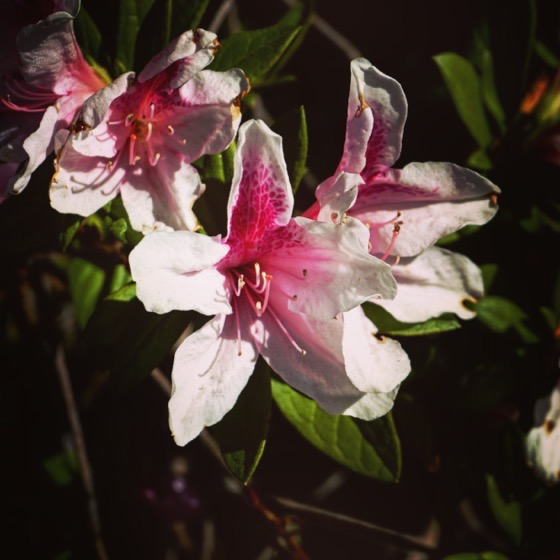Azalea Flowers via Instagram