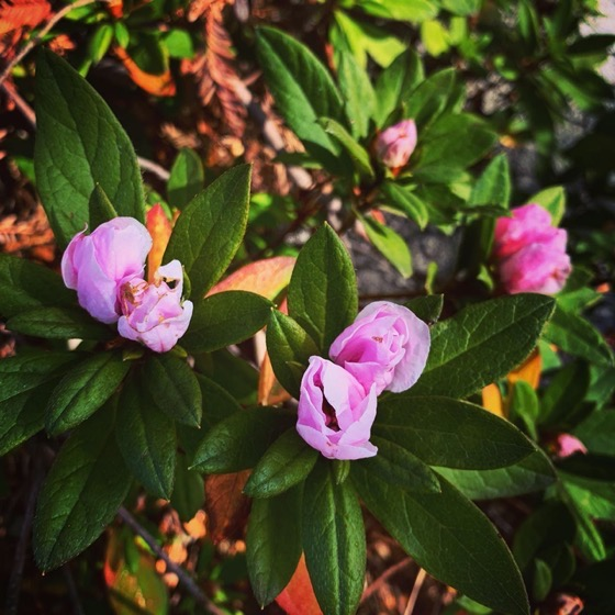 Azalea Flowers In The Garden via Instagram