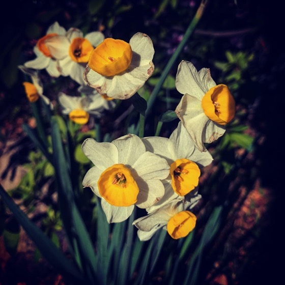 Bi-color daffodils in the garden via Instagram