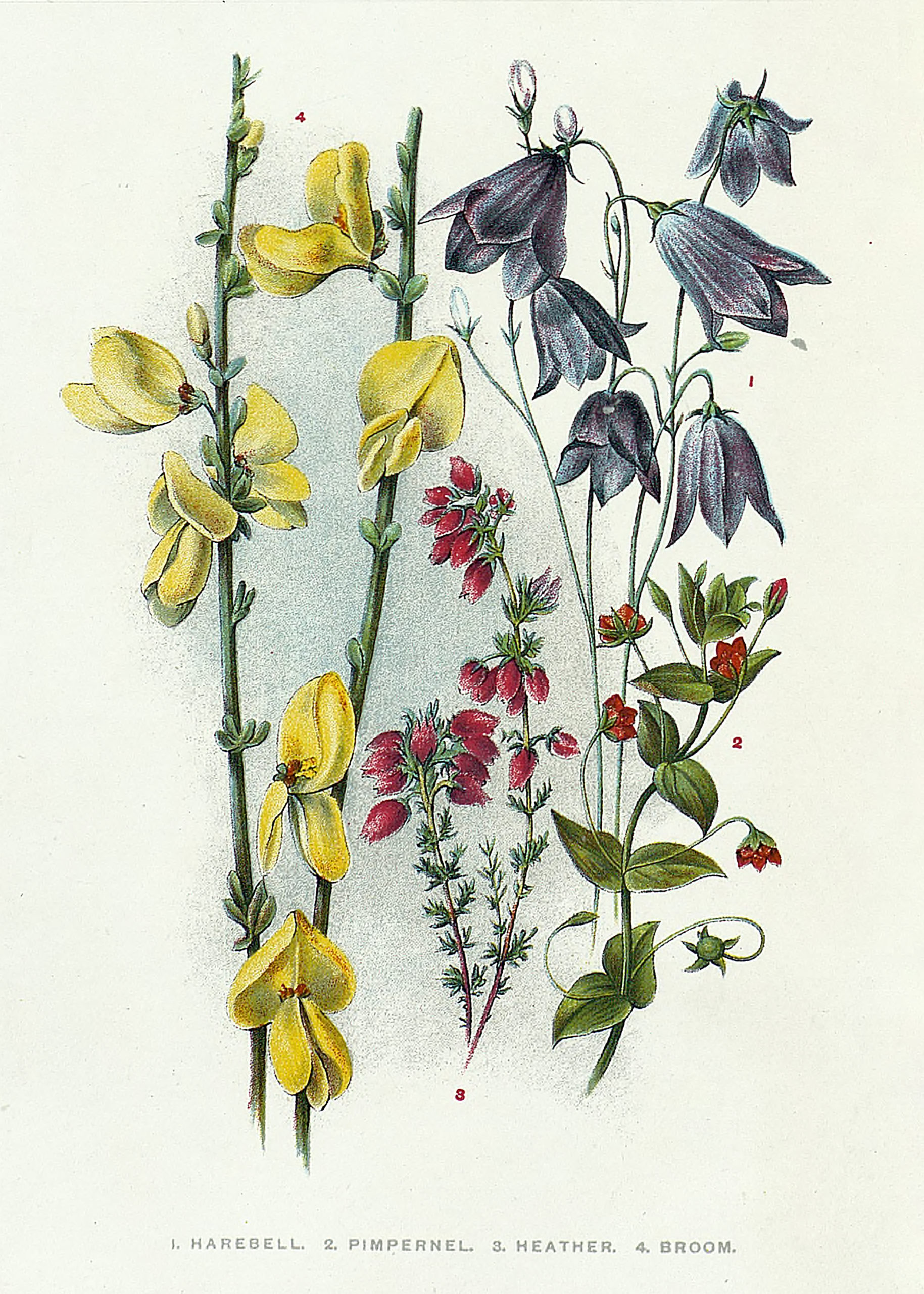 Vintage Botanical Prints - 28 in a series -  Harebell and others from Across the common after wild flowers (1895)
