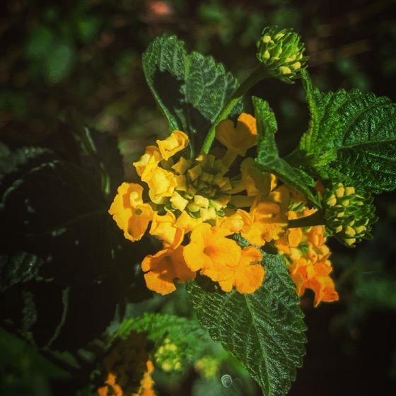 Tiny Lantana Flowers In The Garden