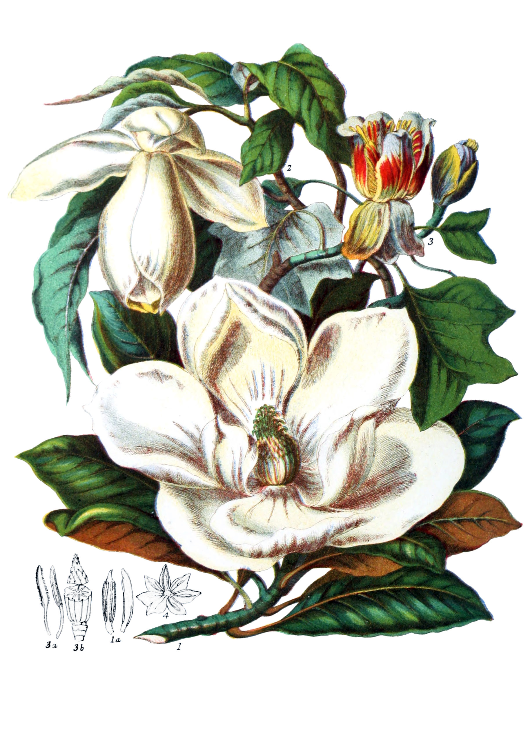 Vintage Botanical Prints - 29 in a series -  Magnoliaceæ from from Illustrations of the natural orders of plants (1868)