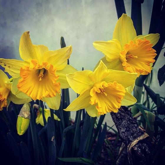 First Daffodils 2021 via Instagram