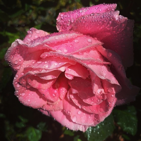 (Rain) drops on Roses via Instagram