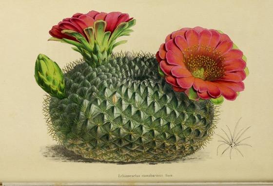 Captivating Cactus and Striking Succulents - 70 in a series - Echinocactus Cinnababinus from Annales de la Société royale d'agriculture et de botanique de Gand (1848)