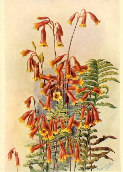 Vintage Botanical Prints - 33 in a series - Blandfordia nobles from Australian Wild Flowers (1912)