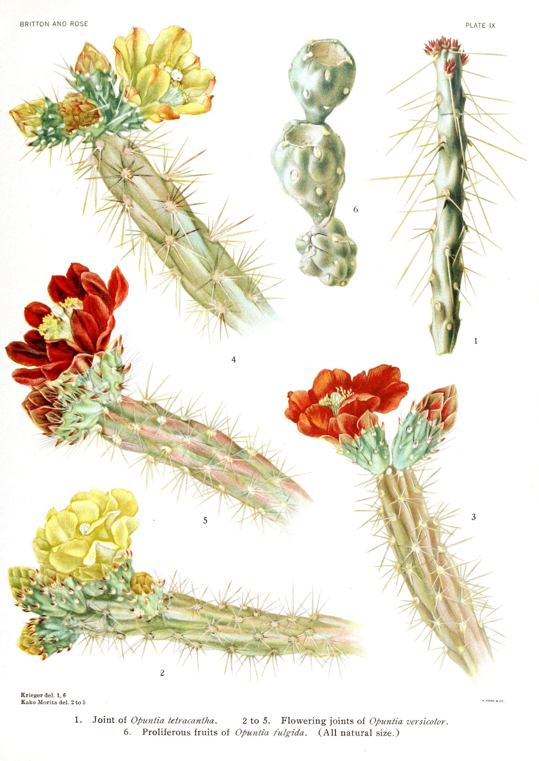 Captivating Cactus and Striking Succulents - 68 in a series - More opuntia cactus and flowers from The Cactacae, Volume 1 (1919)