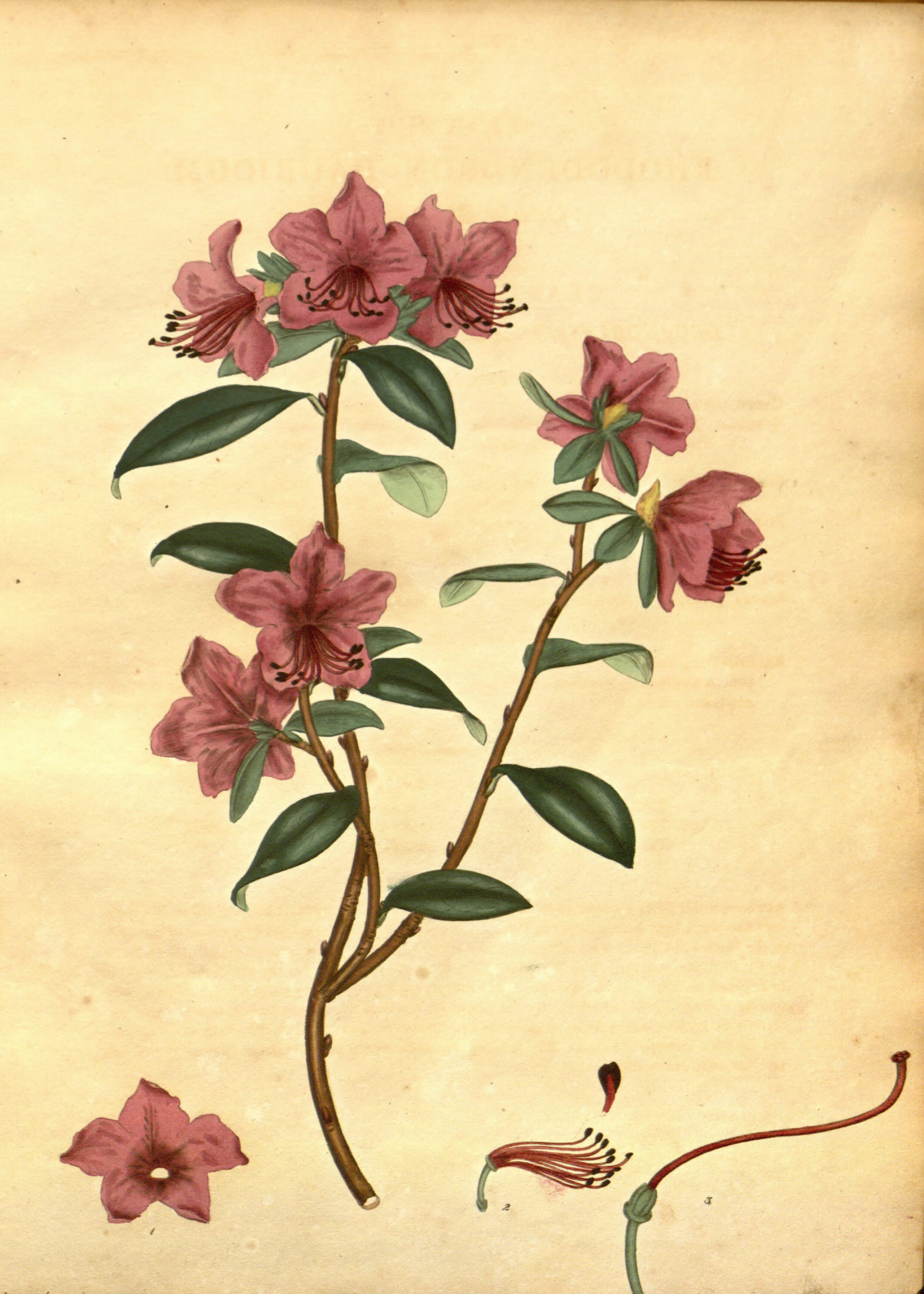 Vintage Botanical Prints - 32 in a series - Rhododendron dauricum Botanical Print from The Botanist's Repository (1797)