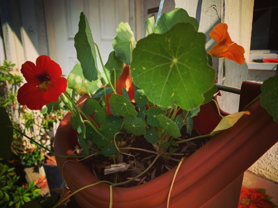 Nasturtiums in self-irrigating containers via Instagram