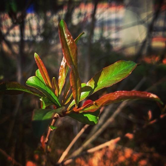 Signs of Spring - Pomegranate via Instagram