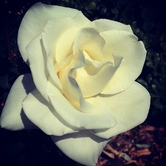 """Rosa """"John F. Kennedy"""" in the garden"""