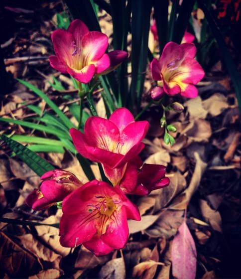 Freesia Flowers via Instagram