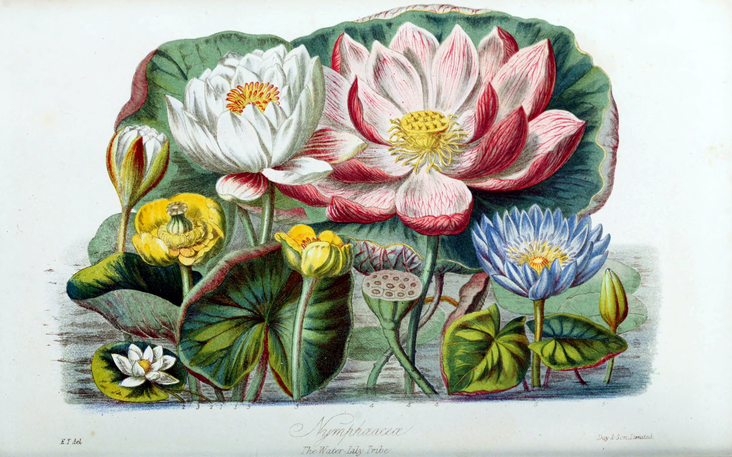 Vintage Botanical Prints - 38 in a series - Nympheacea from from Illustrations of the natural orders of plants (1868)