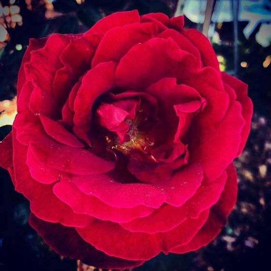 Red, red, rose in then garden via Instagramm