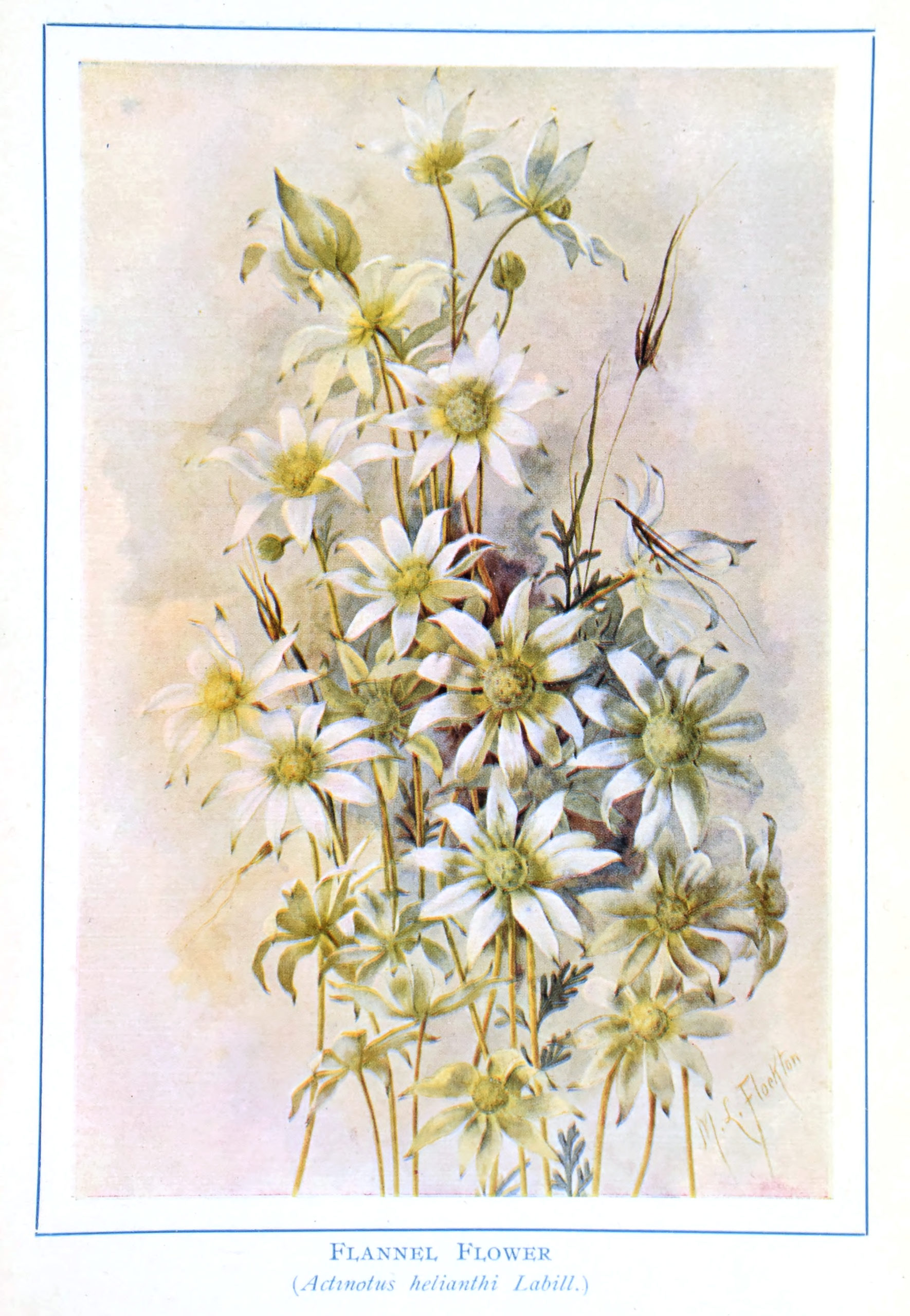 Vintage Botanical Prints - 42 in a series - Flannel Flower (Actmotns helianthi Labill.) from Autralian Wild Flowers (1912)