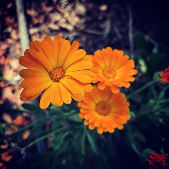 Calendula flowers in the garden today via Instagram