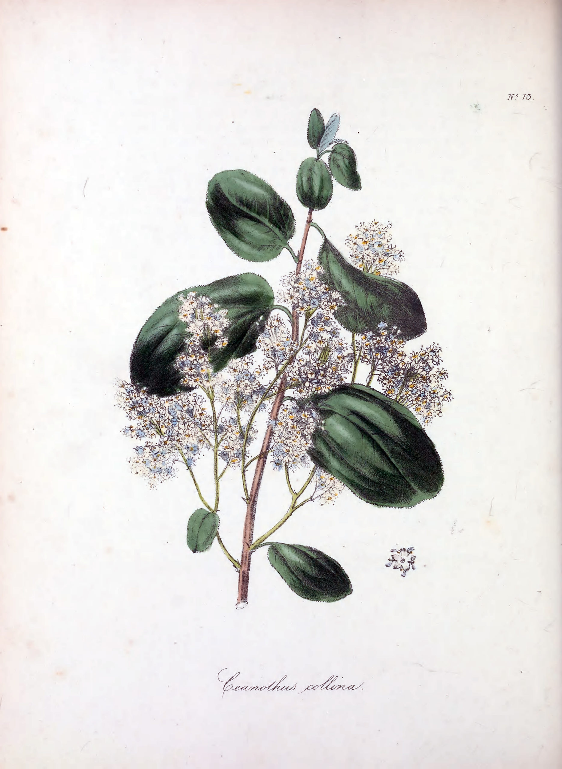 Vintage Botanical Prints - 41 in a series - Ceanothus collina (Mountain ceanothus) from The Floral Cabinet and Magazine of Exotic Botany (1837)