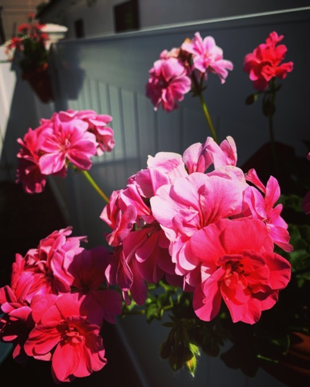 Geraniums in the fence planters via Instagram