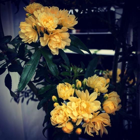 Lady Bank's Rose via Instagram