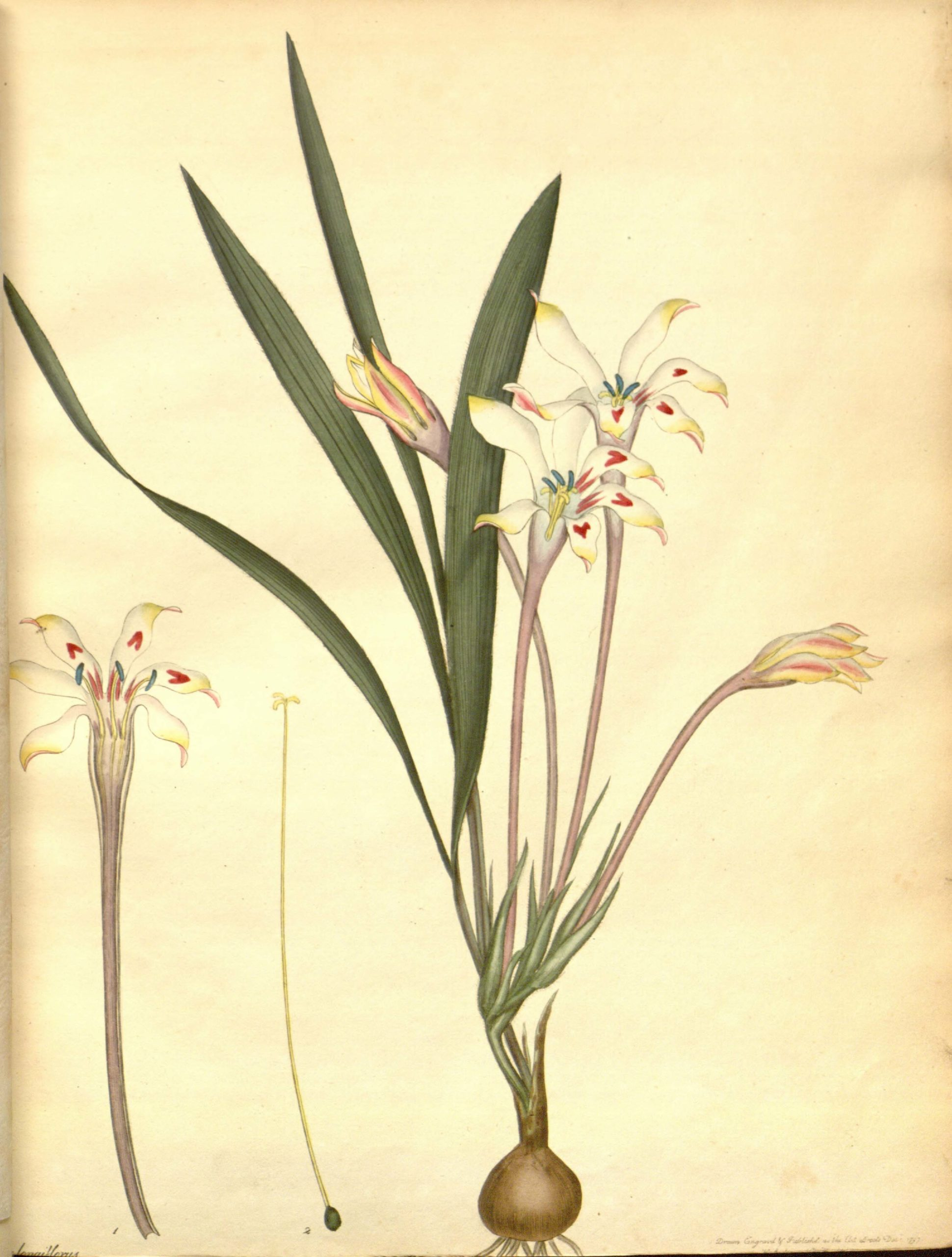Vintage Botanical Prints - 43 in a series - Gladiolus Longflorus from The Botanist's Repository (1797)