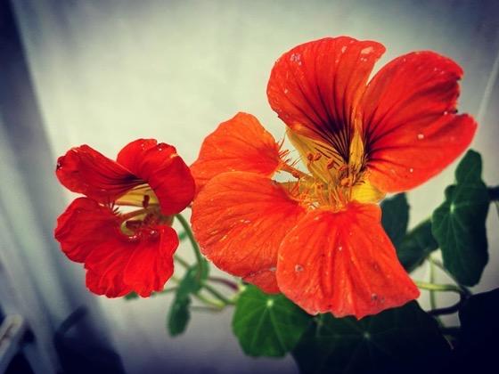 More nasturtiums in the garden via Instagram