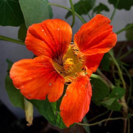 Just a simple, pretty, nasturtium in the fence-hanging planters via Instagram