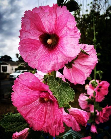Pink Hollyhock (Alcea) flowers a friend's garden via Instagram