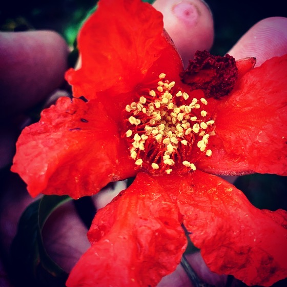 Pomegranate Flower via Instagram
