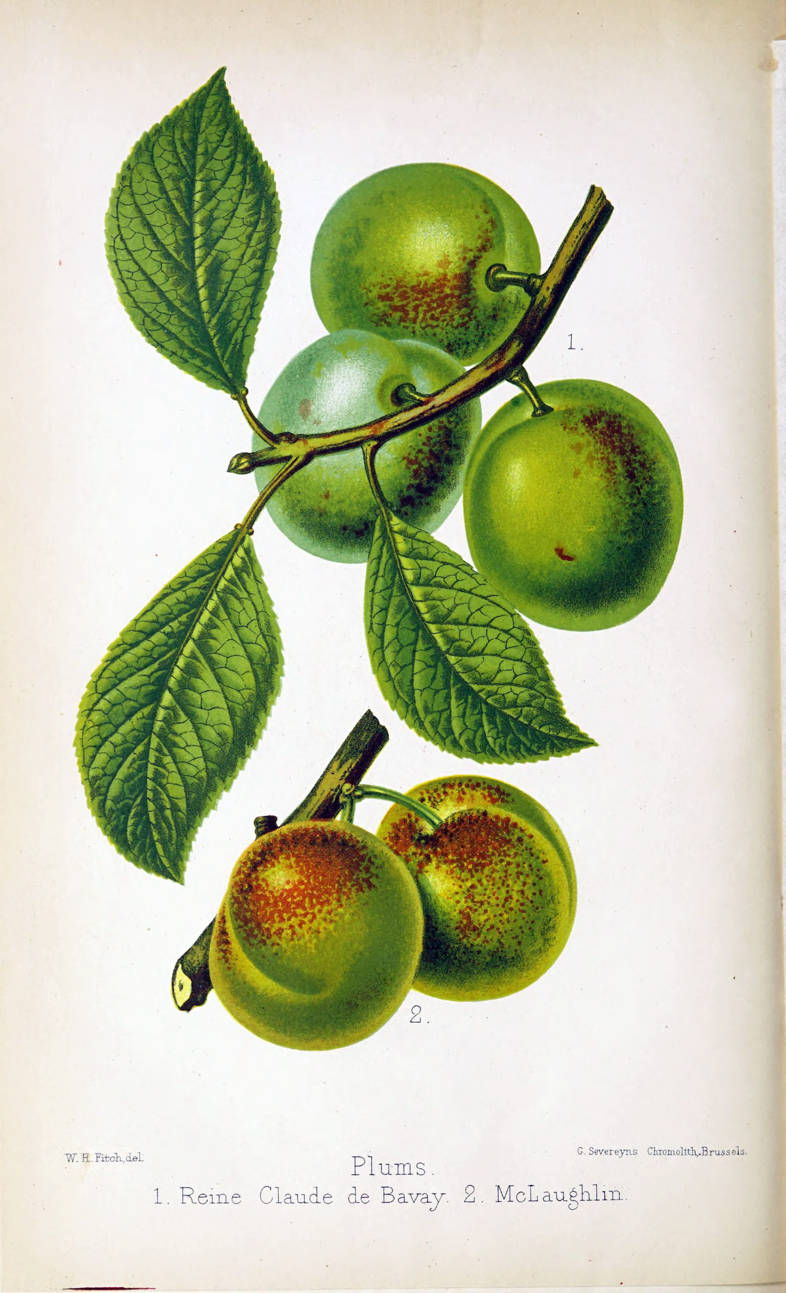 Vintage Botanical Prints - 46 in a series -  Plums: Reine Claude de Bavay and McLaughlin from The florist and pomologist (1879)
