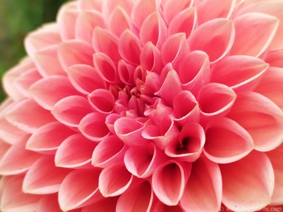 Dazzling Dahlias - 68 in a series - Dahlia 'Sylvia' via Dear Plants