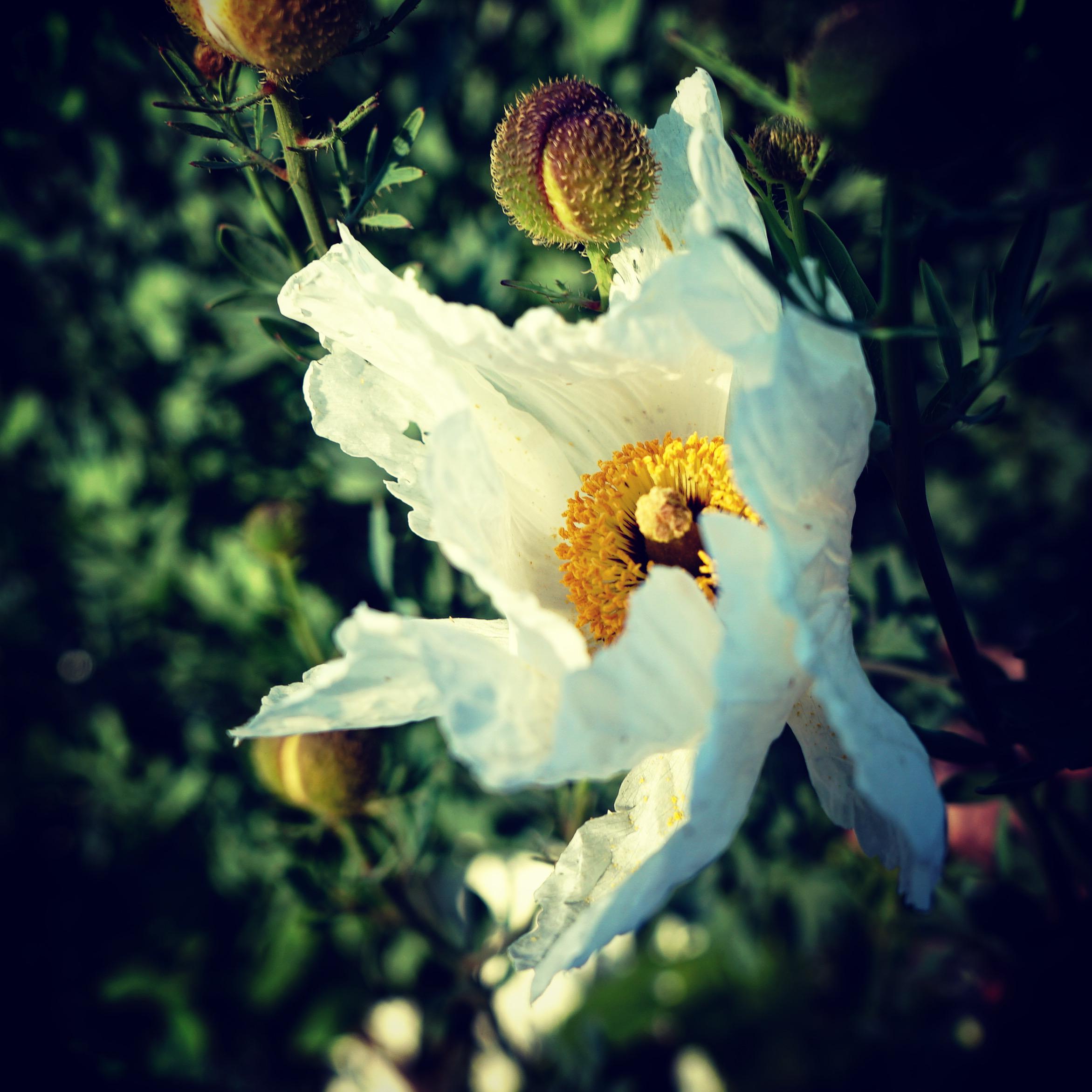 Matilija Poppy Flower in the Neighborhood via Instagram