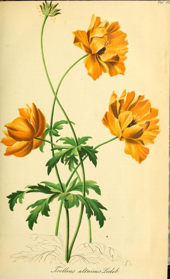 Vintage Botanical Prints - 44 in a series - Trollius altaicus from Gartenflora; zeitschrift für garten- und blumenkunde (1857) (Garden flora; journal of horticulture and floristry)