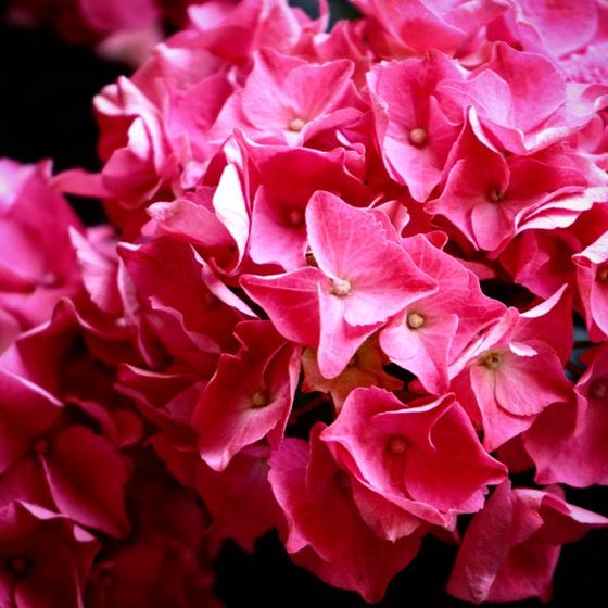 Hydrangea Flowers via Instagram