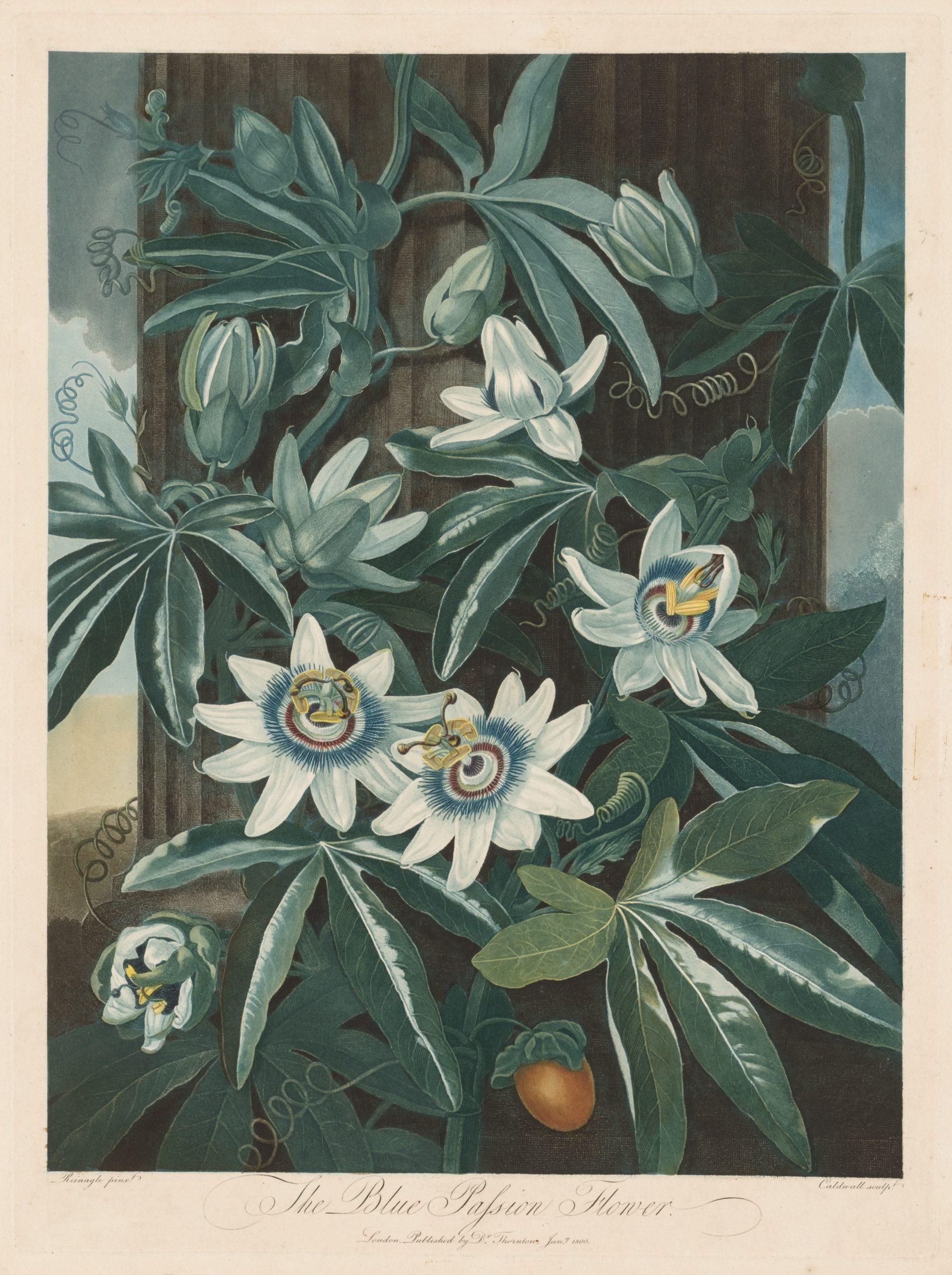 Vintage Botanical Prints - 49 in a series -  The Blue Passion-flower, 1799-1807. Robert John Thornton