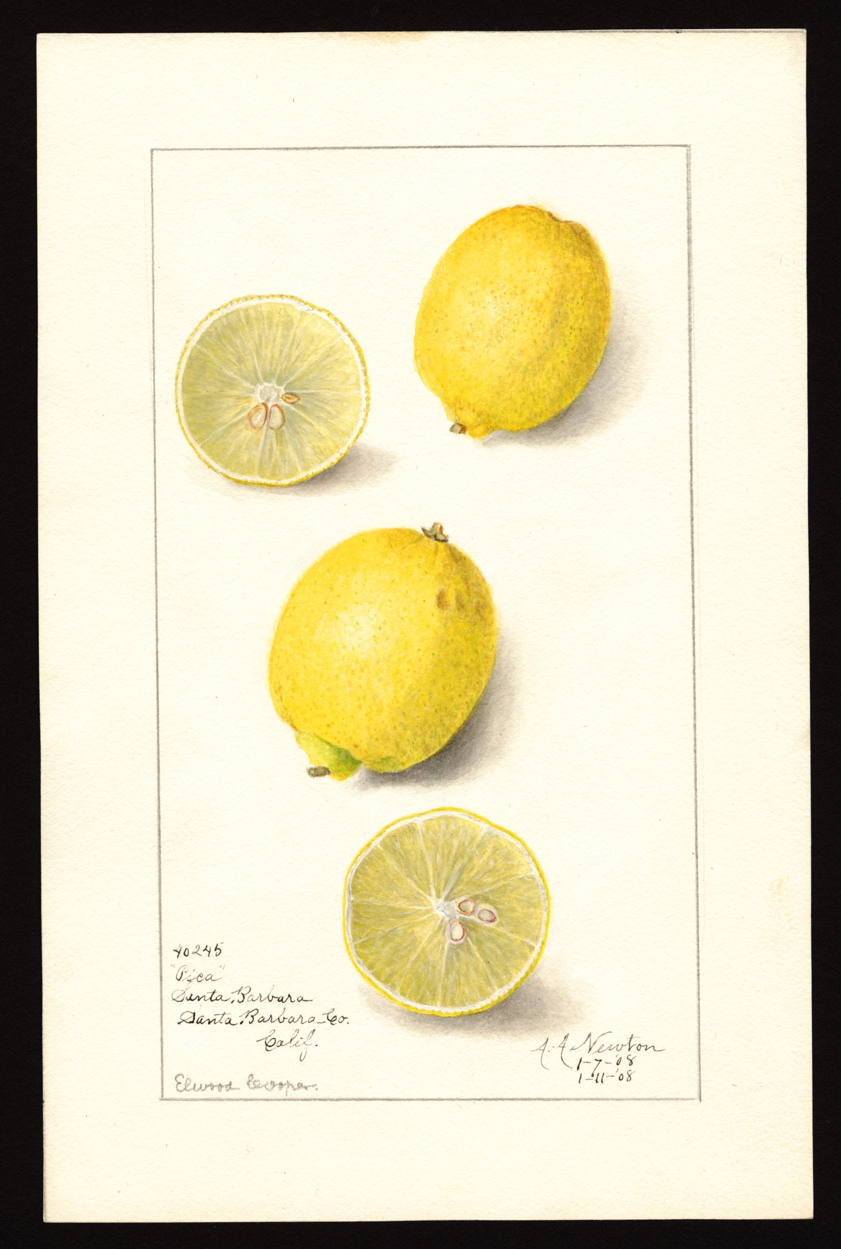 Pica variety of lemons