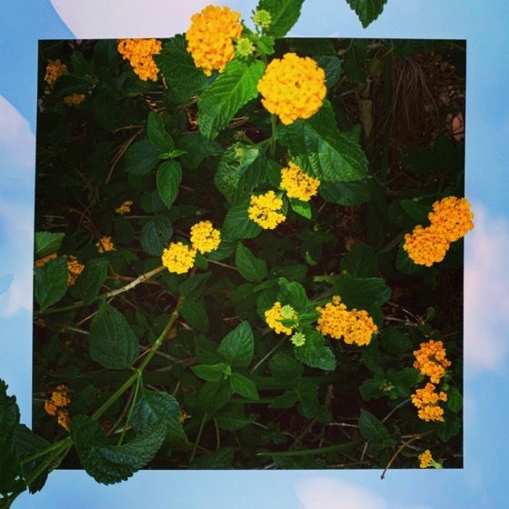 Lantana Flowers - One Square Foot - 38 in a series