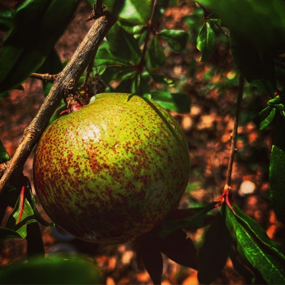 Pomegranate in the garden via Instagram