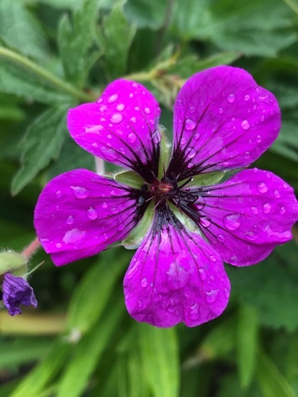 Plant of the Day: Geranium psilostemon via Jill Ragett on Tumblr [Shared}
