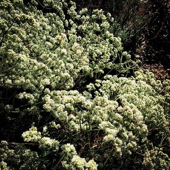 Buckwheat flowers in the front garden via Instagram
