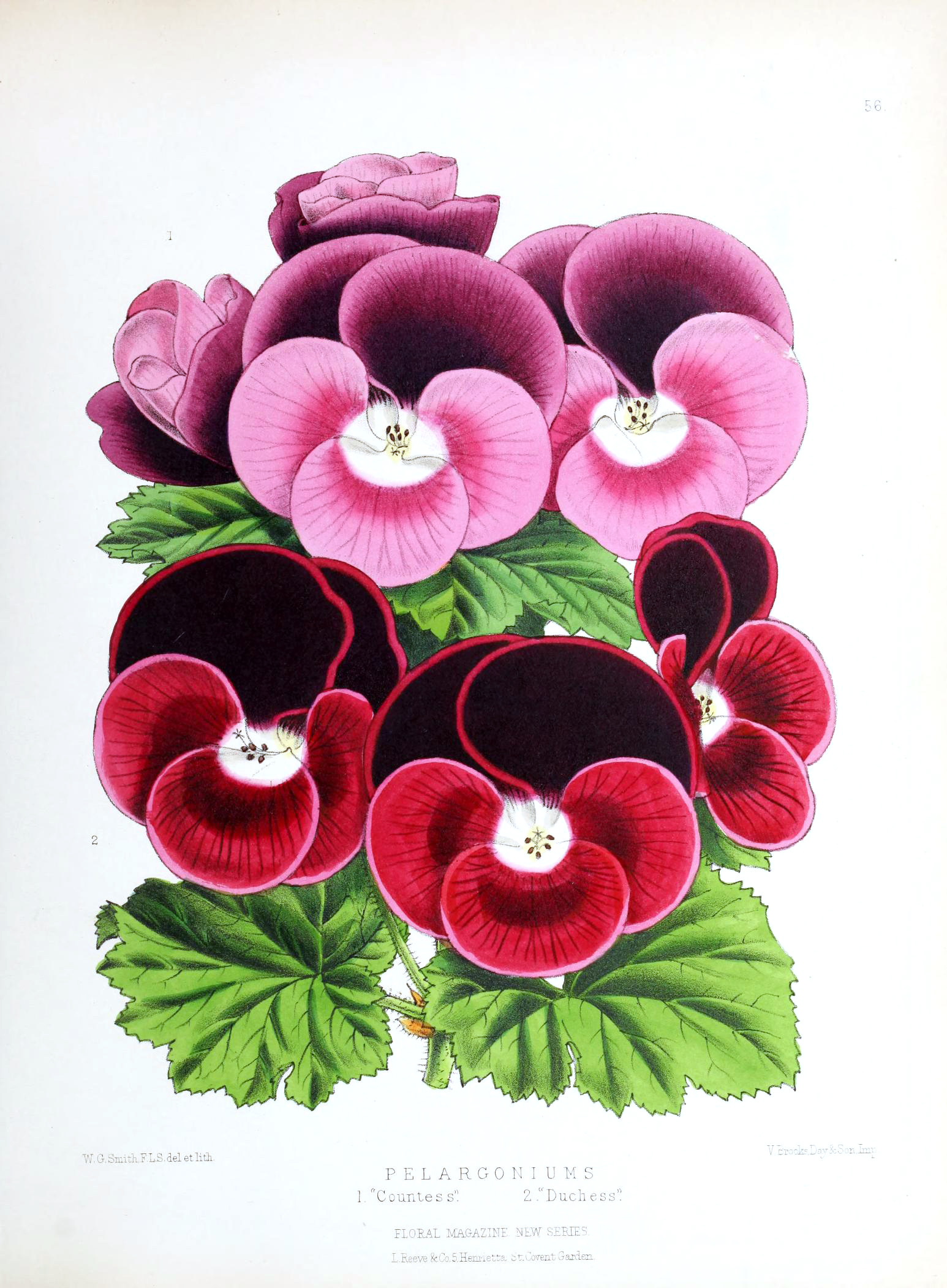 Vintage Botanical Prints - 53 in a series -  Pelargoniums from The Biodiversity Heritage Library (1861)