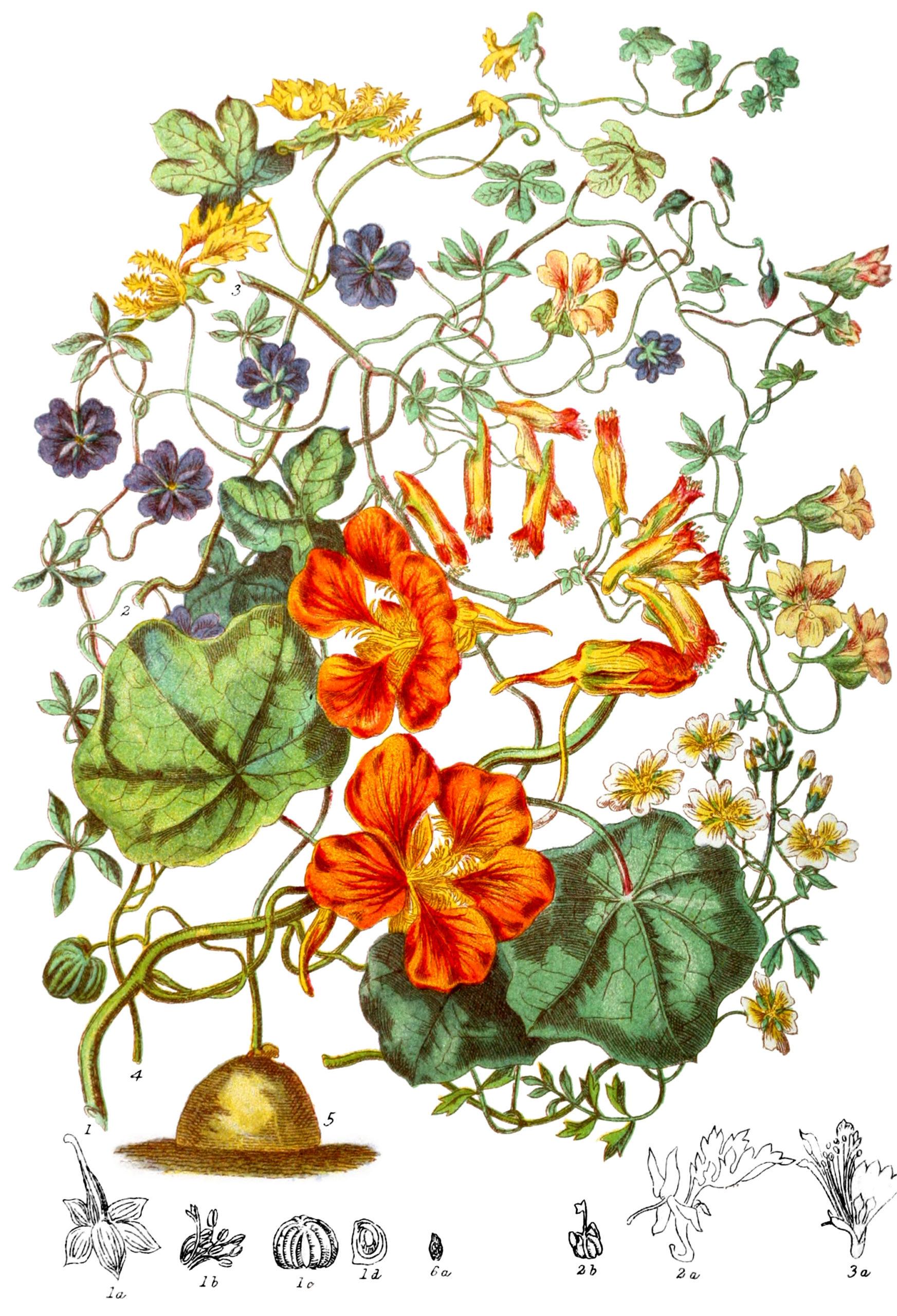 ropæolaceæ: The Indian Cress, Or Nasturtium Tribe (1868) via Illustrations Of The Natural Orders Of Plants