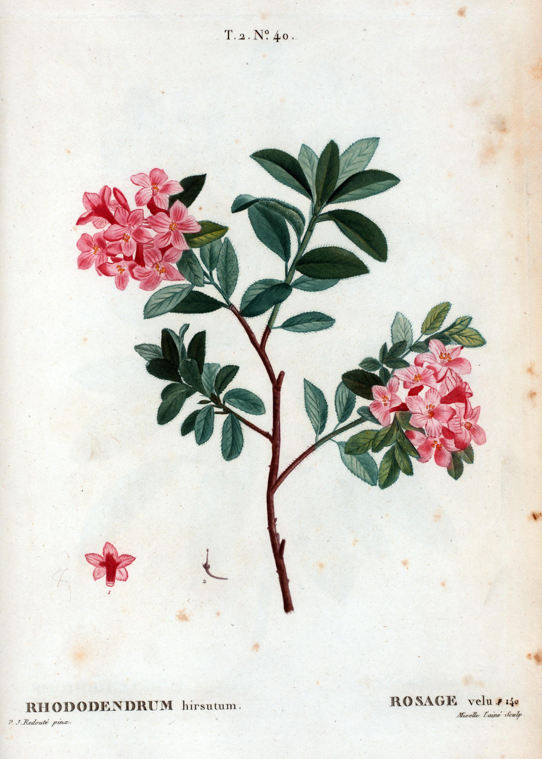 Vintage Botanical Prints - 55 in a series -  Rhododendrum hirsutum = Rosage velu. (1801) from Traité des arbres et arbustes que l'on cultive en France en pleine terre