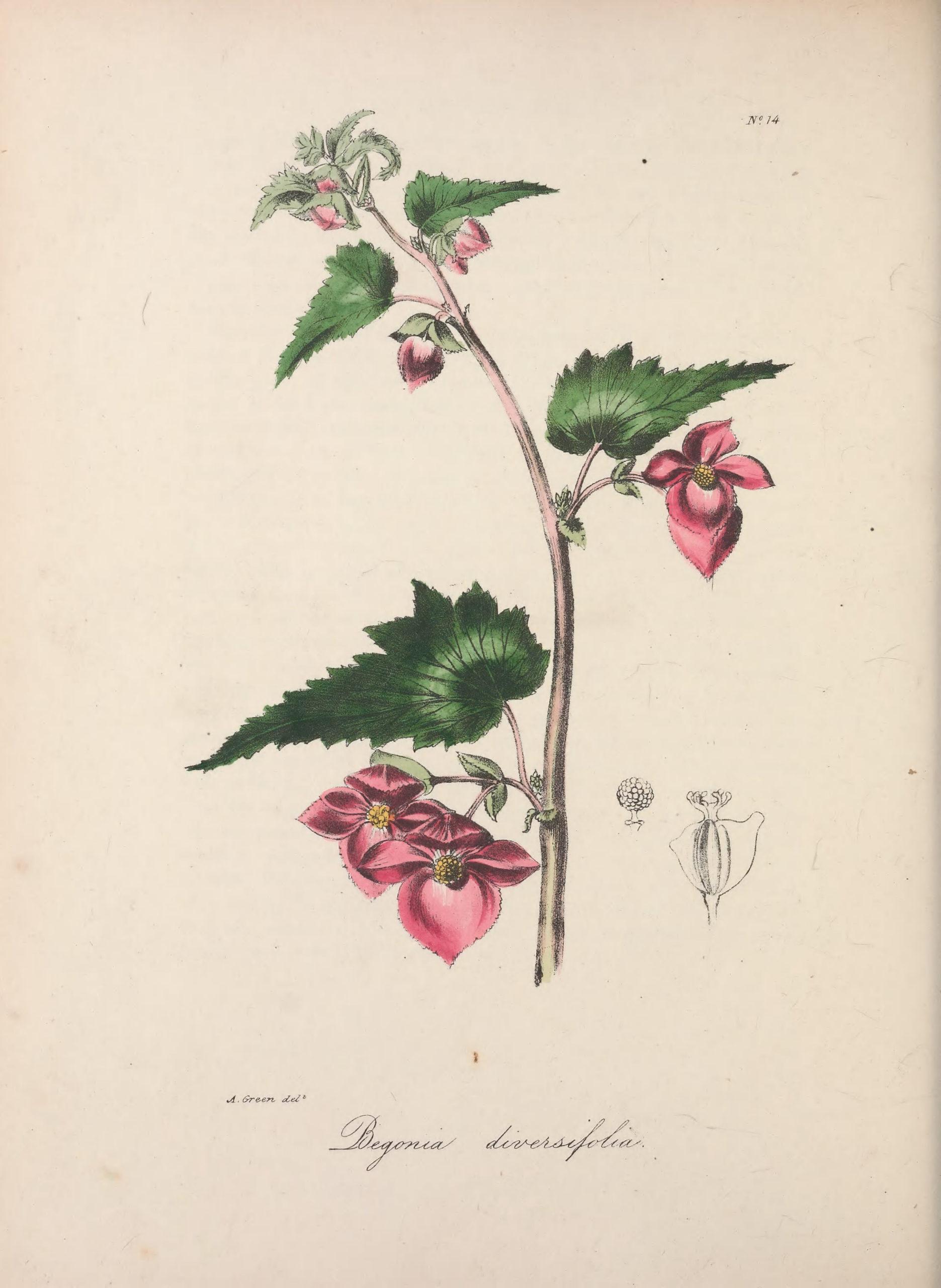 Vintage Botanical Prints - 58 in a series - Begonia diversifolia (1837)